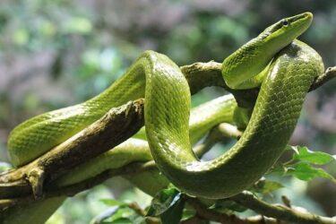 【悲報】横浜アミメニシキヘビ飼い主ヘビやワニを売却譲渡!種類や値段!なぜ茨城の業者?