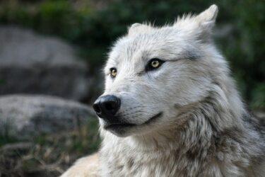 オオカミ犬(狼犬)脱走ブリーダーはどこ?責任者は?危険性,性格,値段,飼育許可は?長野県富士見町