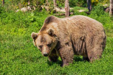 【北海道福島町】クマに襲われた女性は誰で何故襲われた?損傷の激しさが酷すぎる!クマ駆除の必要性は?